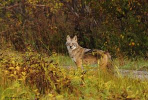 Eastern Coyote in the morning by natureguy