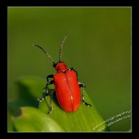 Mr. Red by albatros1