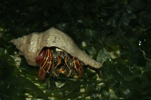 Hermit Crab by DrakeXaos
