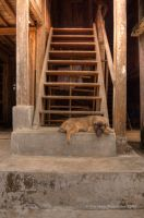 Vietnamese dog on stairs by CathexisDk