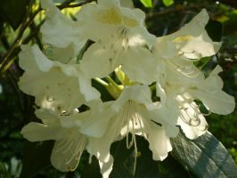 White rhododendron by Riakel