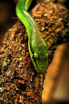 Red Tailed Rat Snake HDR by Stepherz-Firefox