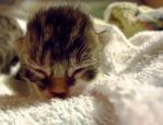 Newborn Kitten by Cougar28