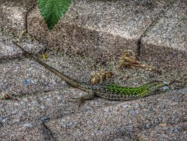 Green lizard. by vdf