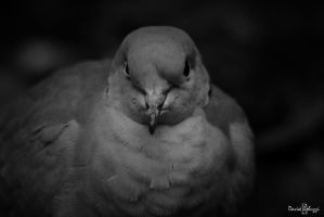 Domesticate turtledove II by smaccks