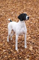 German pointer by fotomartinez
