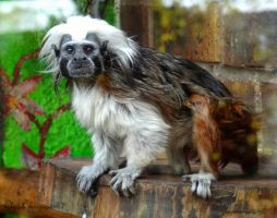 Photograph me I'm famous - cotton-top tamarin by Cloudwhisperer67