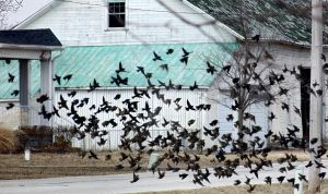 Blackbirds Carry in the Spring by red-fox357