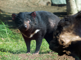 Tasmanian devil by photographyflower