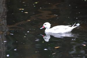 White duck... by JBlue2389