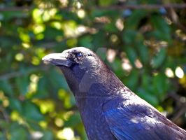 Friend Corvid by DomaniDream