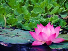Lotus and Pistia by WillTC