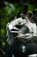 Harpy Eagle by YumiTheWolf
