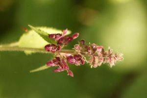Hedge Woundwort by BlueFireVixon
