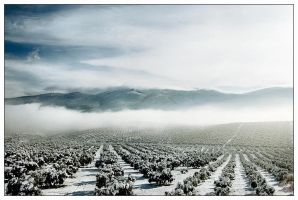 Olive Fields by justinblackphotos