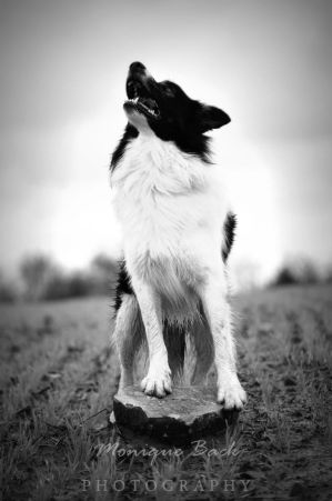 Border Collie Leo Black and White by fucute