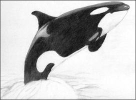 A Wild Orca by OrcaInspired