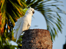 Sulphur-crested cockatoo by Mike-Kossi