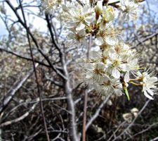 Wild Plum Flowers by Sing-Down-The-Moon