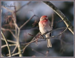 House Finch-Male by barcon53