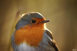 Robin 1 by Mob1