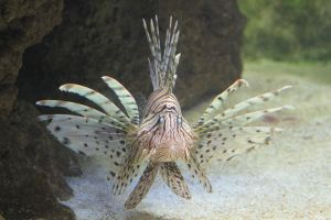 Pterois 04 by FoxRAGE-Stock
