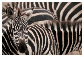 Zebras - 2005 by eight-eight