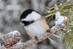 Chickadee in Winter by papatheo
