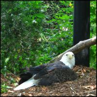 Resting Bald Eagle by Elorine