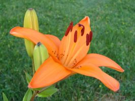 Tiger Lilies 5 by FantasyStock