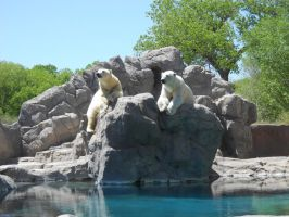 Polar Bears Be Chillin by Evelyn67