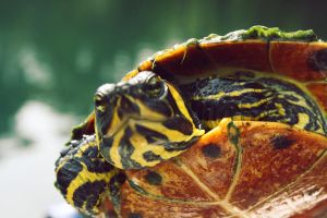 SnappingTurtle by Hankins