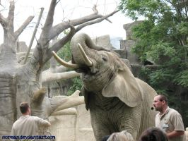 African Elephant - Brookfield by sorean