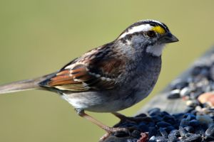 White-throated Sparrow by mozella78