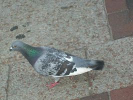 Skinny Pigeon by penny-duchess-stock