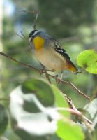 Spotted Pardalote I by OpalMist