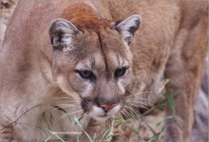 Eyes of the Cougar by SilkenWinds
