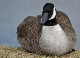 Canada Goose by masscreation