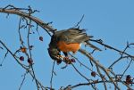 American Robin 3-3-14 by the-railblazer