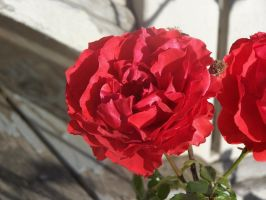 Rose three by tever123