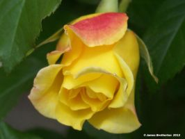Red And Yellow Rose by jim88bro