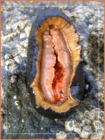 A chiton - What did you think? by speedyfearless