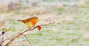 A little Robin on a cold day by SaneSational
