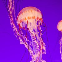 jellyfish. by simoendli