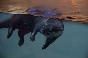 The Otter by Herculesi