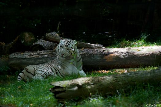 White Tiger 2 by LOmbre24