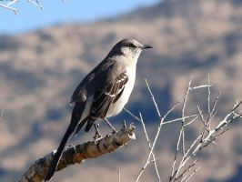 Mockingbird at Saguaro National Park by Geotripper