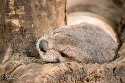 River Otter by EdgedFeather