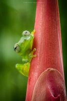 Ghost Glass Frog, Costa Rica 3. by MCN22