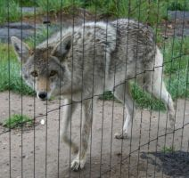 Pocatello Zoo 12 Coyote by Falln-Stock